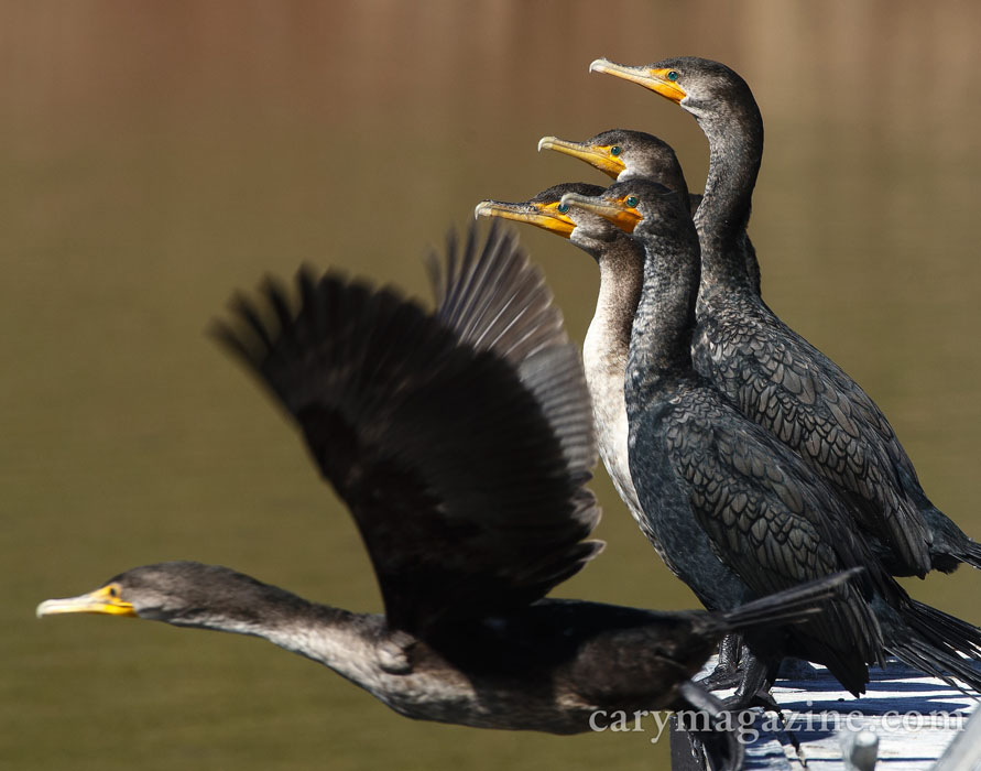 A gulp of cormorants sun on a dock over Bond Lake in Cary.