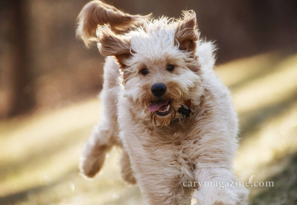 Nothing says happy like a slobbering Goldendoodle who's picked his next victim