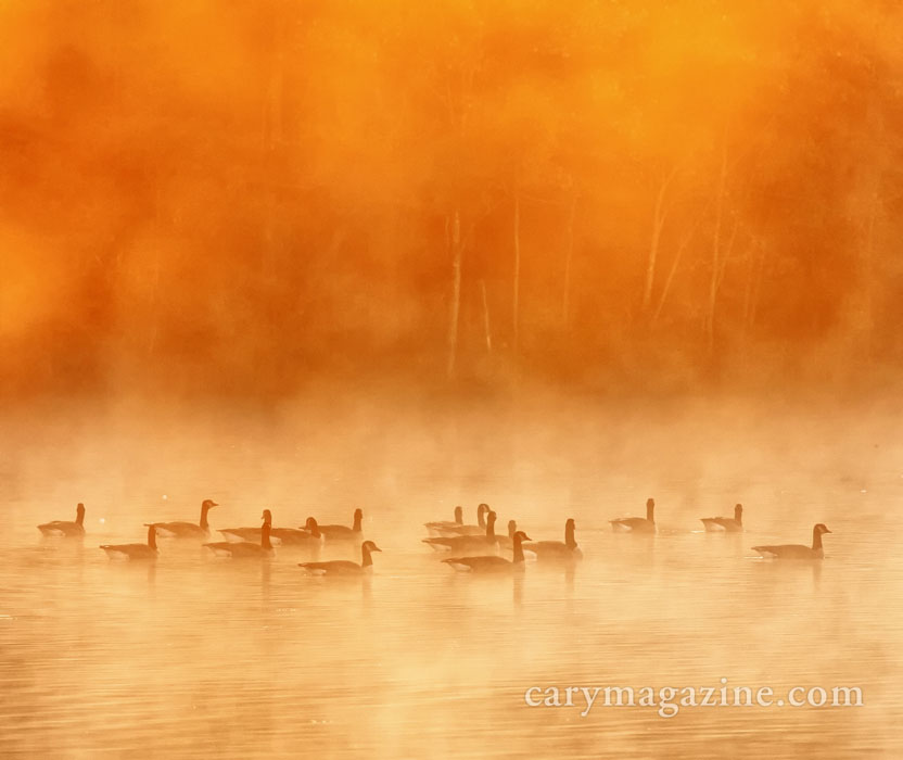 Canada Geese on a chilly morning at Fred G. Bond Metro Park in Cary, NC.