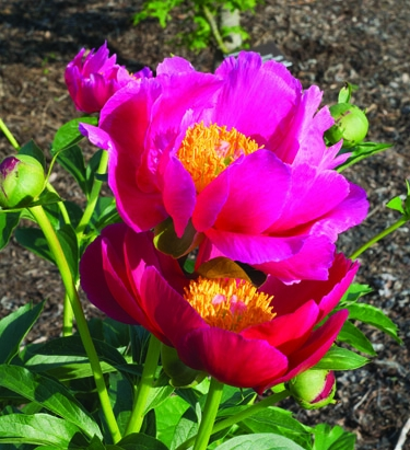 "Peony ""Scarlett O'Hara,"" with rich red petals around a glowing yellow center, is a good pick for Southern gardens."