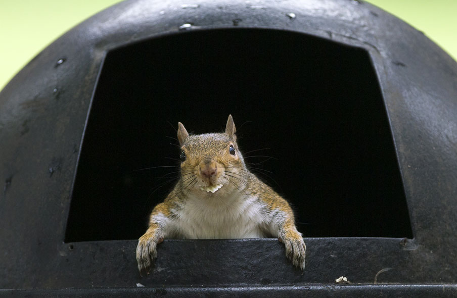 A squirrel emerges from a park trash can with a ruffled potato chip in its mouth.