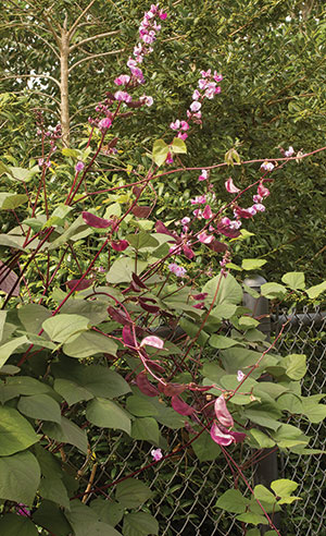 CM-Purple-Hyacinth-Bean-Vine