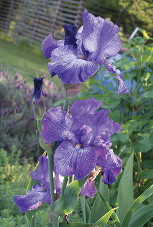 Bearded irises need well-drained soil and at least six hours of sunlight per day. A full day of sun is even better.