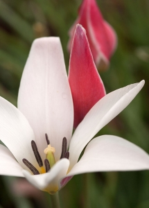 'Lady Jane' is another bicolor tulip with white inner petals and red accents.