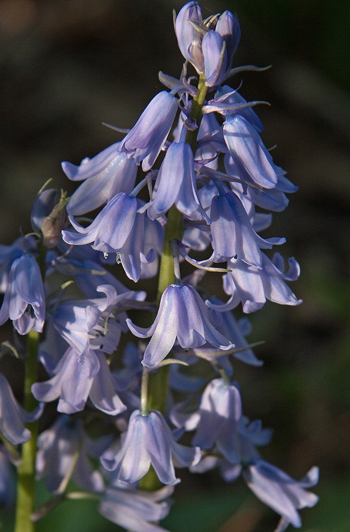 The Ring Of Spanish Bluebells