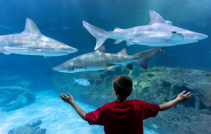 Eight-year-old Drew Hyme gets up close to sand tiger and sandbar sharks at the 250,000-gallon Open Ocean or Graveyard of the Atlantic exhibit (named after countless shipwrecks along the Outer Banks) at the North Carolina Aquarium on Roanoke Island. The 68,000-square foot complex features all facets of aquatic Outer Banks life, including touch tanks, otter habitats and an alligator exhibit. The aquarium is open year-round, except Thanksgiving and Christmas.
