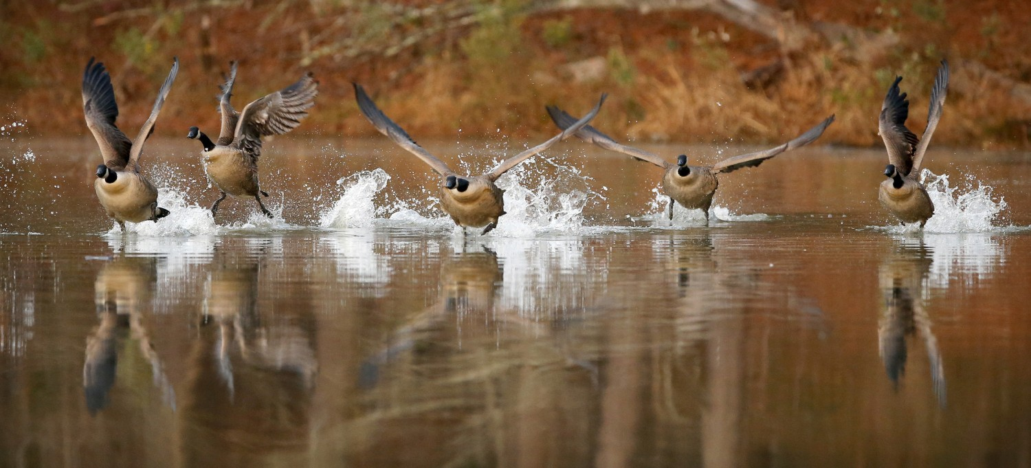 After spending the night at Apex Community Park, Canada geese take flight at the start of a new day.