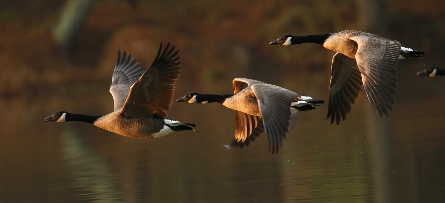 A skein of Canada geese fly into the sun.