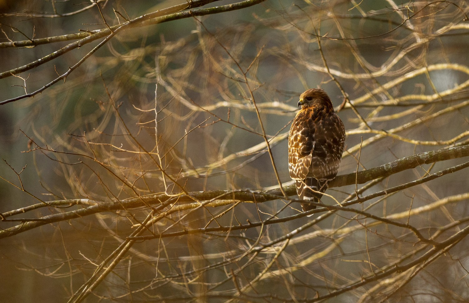 A red-shouldered hawk perches above the water.