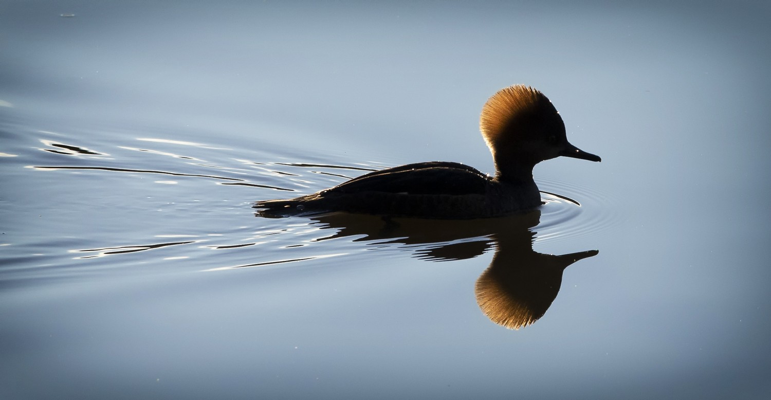 Light from the rising sun highlights the head feathers of a hooded merganser.