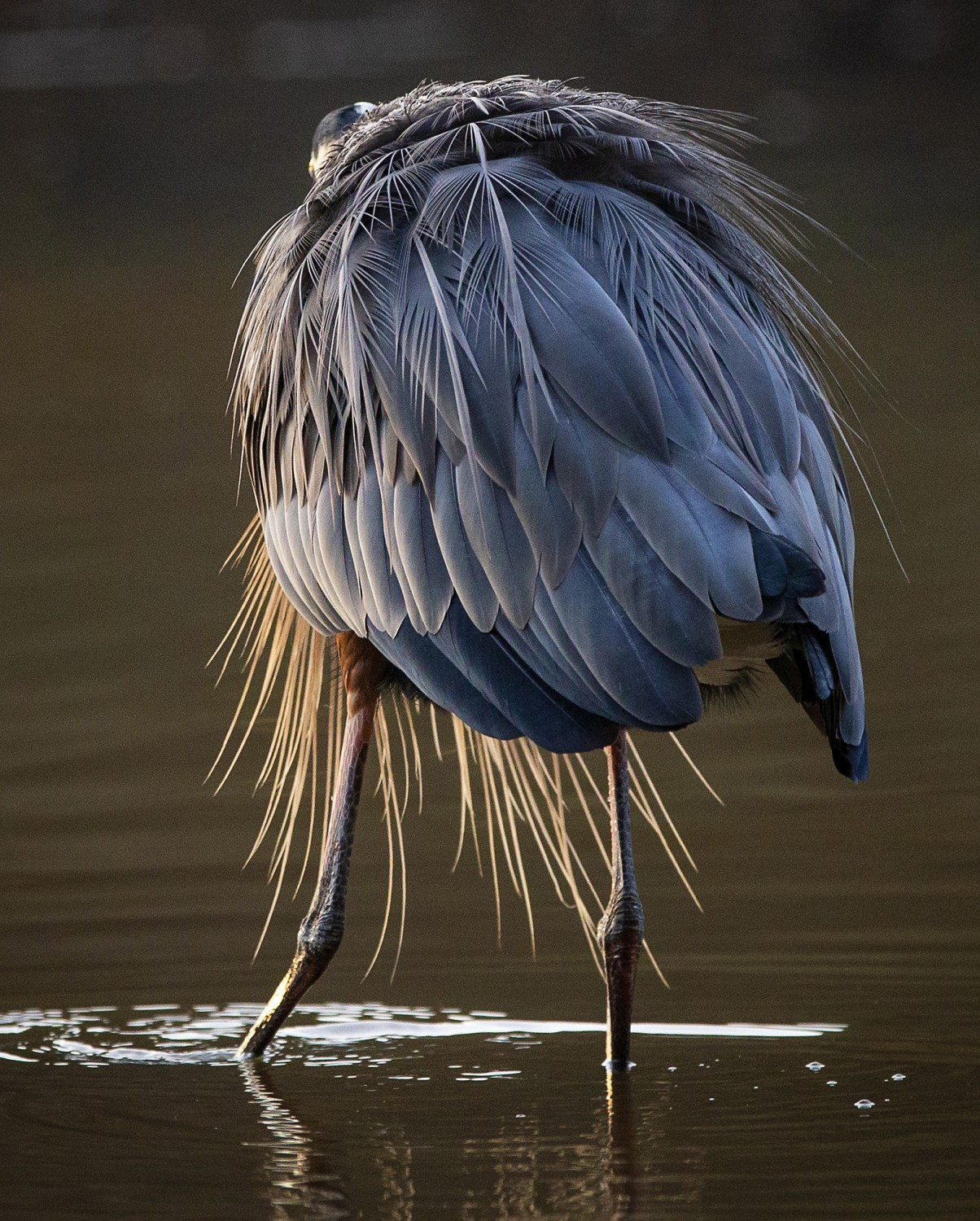 A great blue heron shows its plumage.