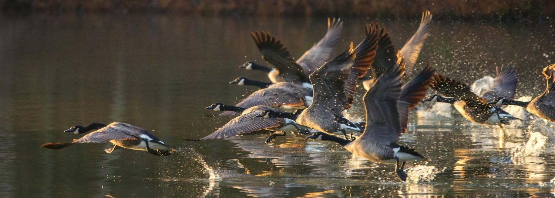 Canada geese make a splashing take off.