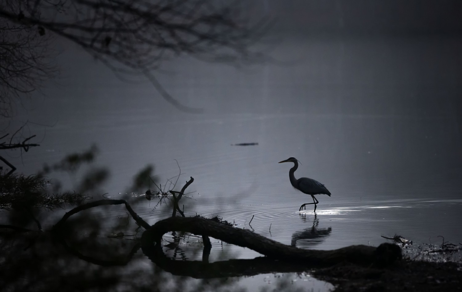 A great blue heron stalks its prey in the predawn light.