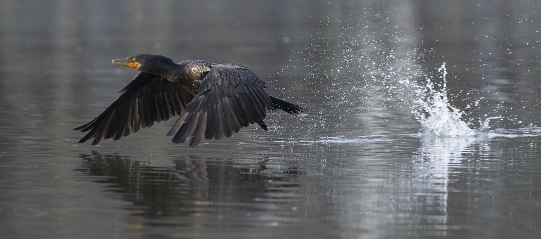 A cormorant skips into flight over Lake Apex.