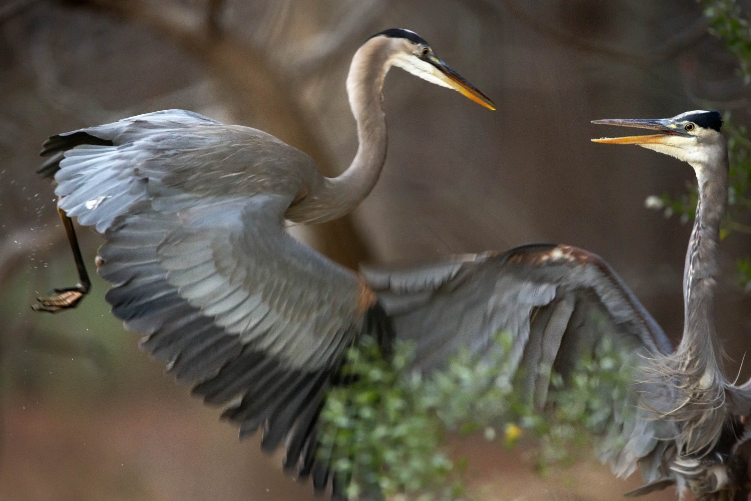 A pair of great blue herons fight over fishing territory.
