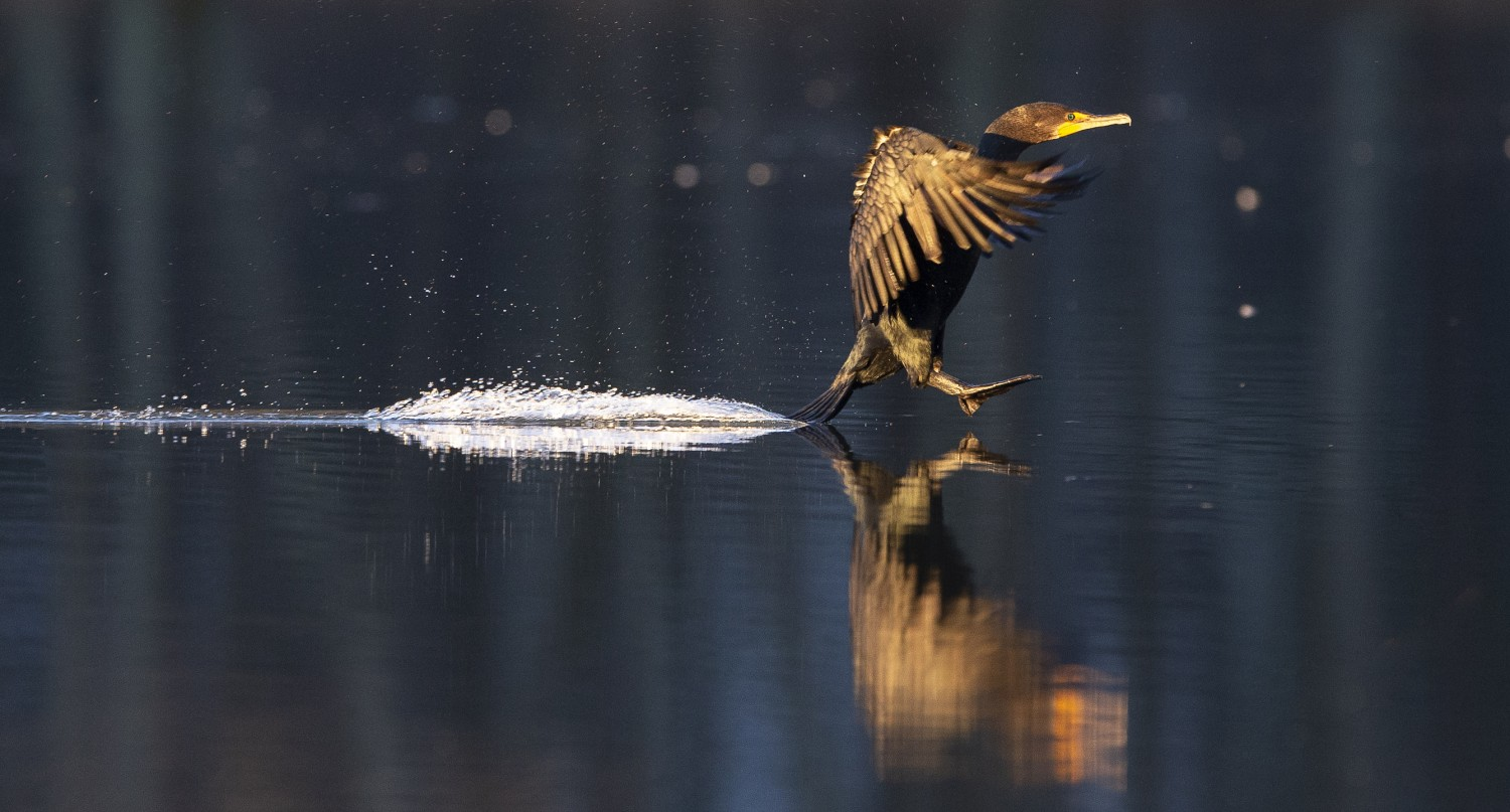 A cormorant applies the brakes with its tail -- as it lands on Apex Lake. The migratory birds are only seen here during the winter.