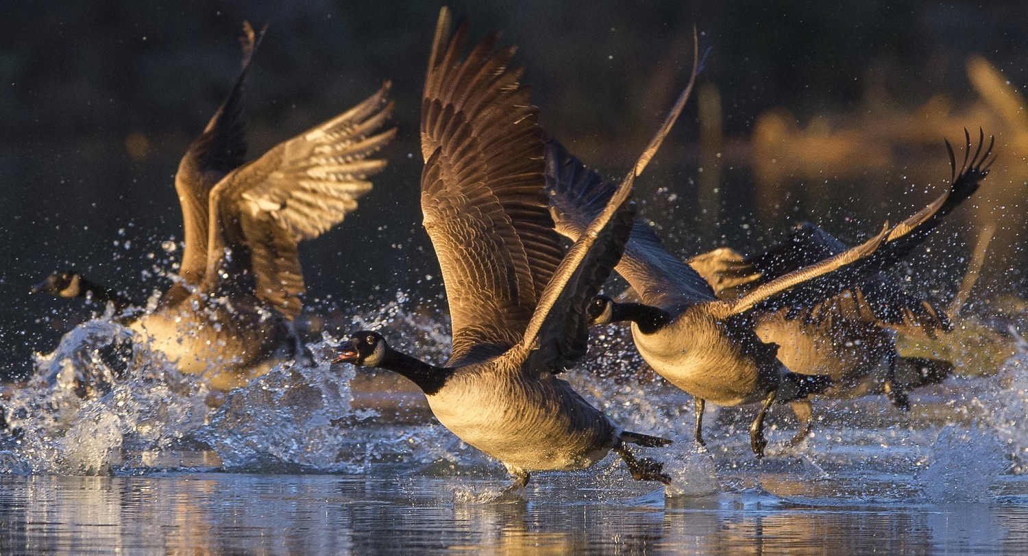 A gaggle of Canada geese honk, flap and splash while flying out into the morning.