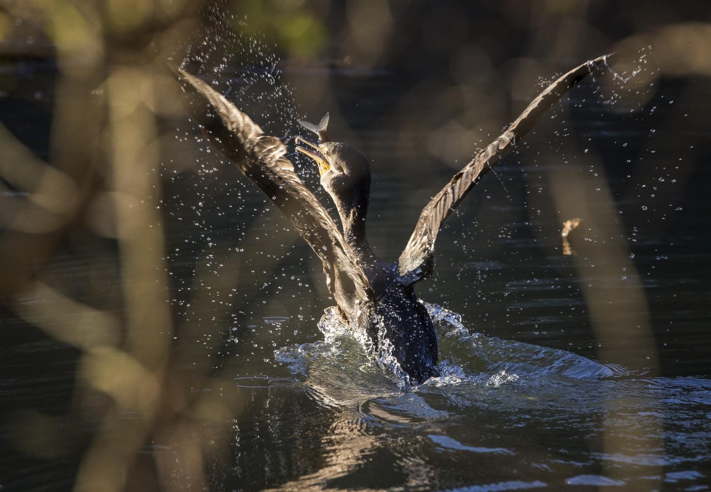 Fresh catch in its beak, a cormorant takes flight at Apex Lake.