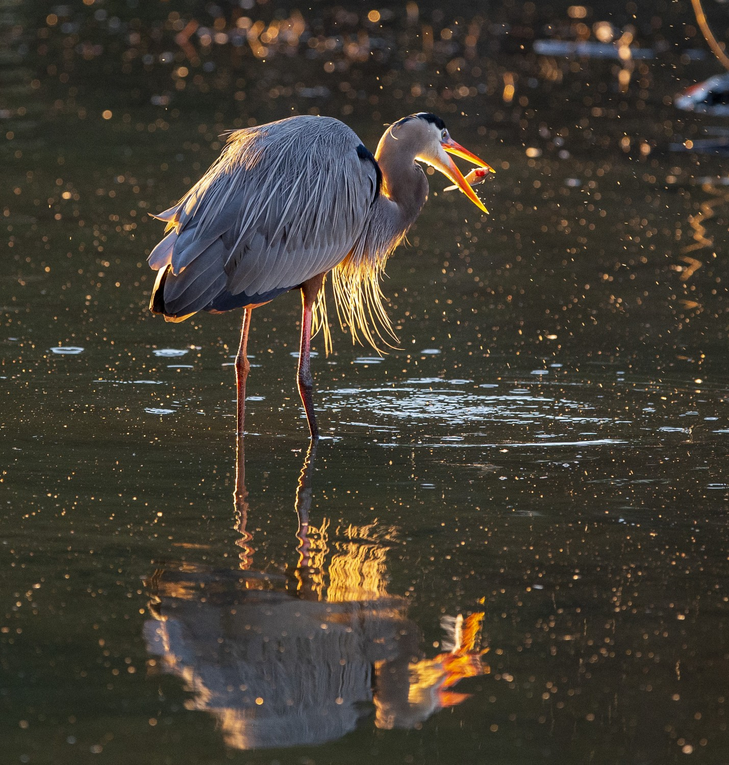 Backlit by the rising sun, a great blue heron chomps on a fresh catch.