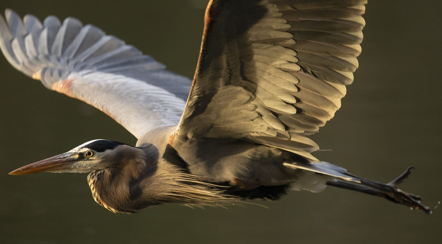 The golden light of sunrise graces the underside feathers of a great blue heron as it flies into the morning.