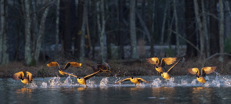 Sun-kissed at sunrise, Canada geese take flight over Apex Lake.