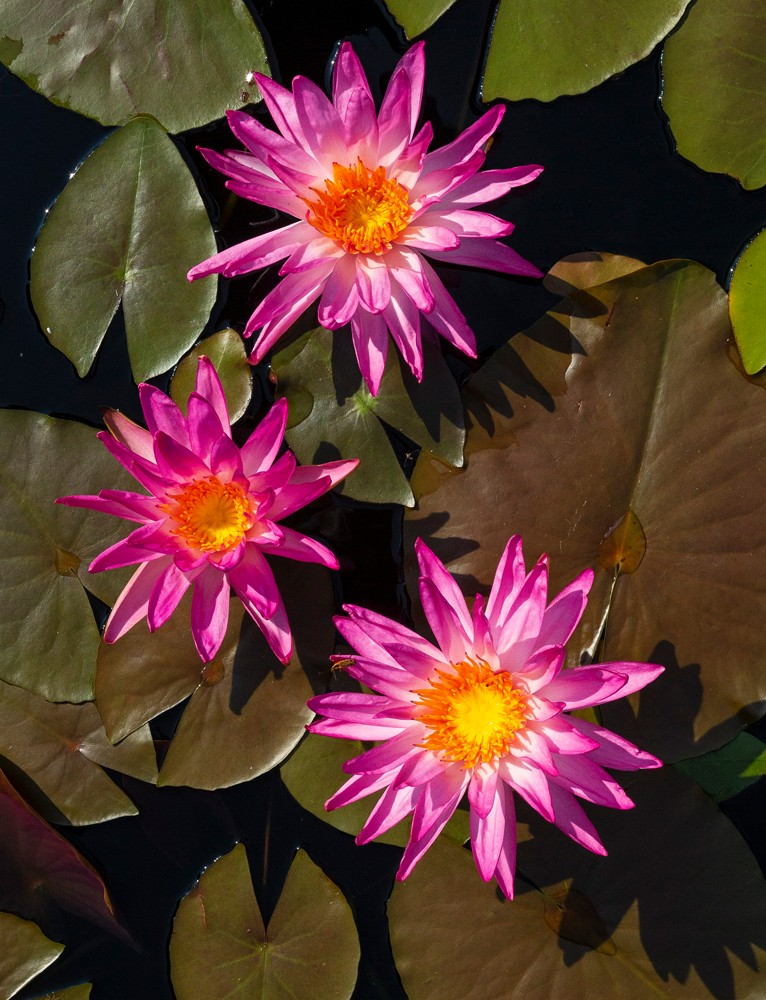 Nymphaea Tropic Stars, commonly known as water lilies, bask in the sun as they float on the pond.