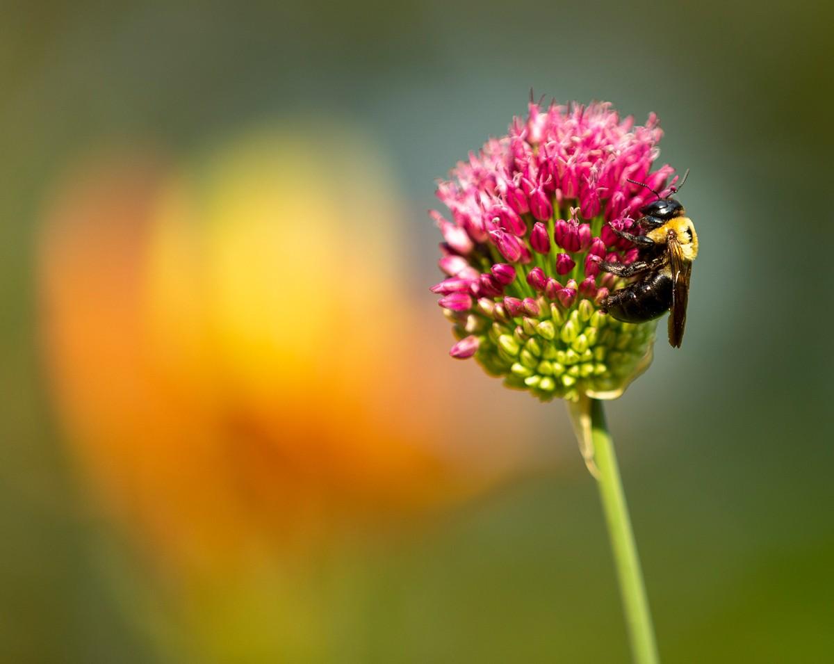 A bee explores an Allium sphaerocephalon, also known as round-headed garlic or leek, as it begins to flower.